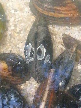 Muscheln im teich haltung von muscheln teichbau und for Larven im teich